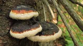 Parasitic fungus on trunk of tree in forest