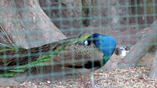 Peacock in cage at the zoo
