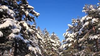 Pine-trees under snow
