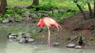 Pink flamingo in green lake