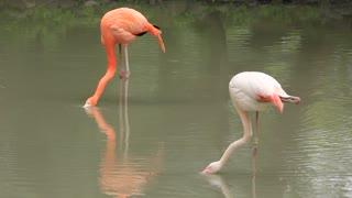 Pink flamingo (Phoenicopteridae) on green lake