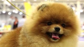 Pomeranian spitz. Decorative dog breed