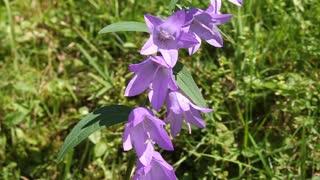 Purple bellflower on the green meadow