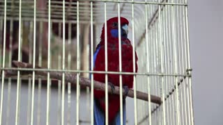 Red bird in the cage