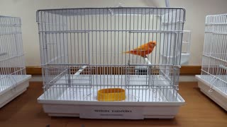 Red canary bird in the cage