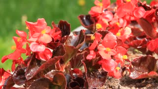 Red flowers video stock footage