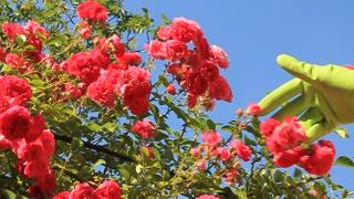 Red polyantha rose (Rosa multiflora) and hand of gardener in green glove