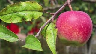 Red ripe apple on a branch with green leaves