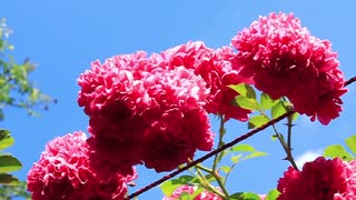 Red rose bush video stock footage