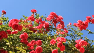Red roses with green leafs in garden