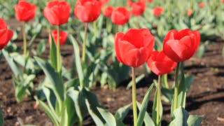 Red tulips video stock footage