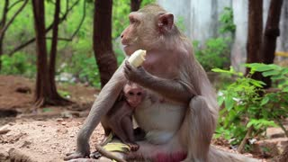 Rhesus macaque with a cub sits on the ground and eats banana, Thailand