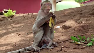 Rhesus macaque with a cub sits on the ground and eats banana