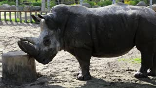 Rhinoceros in zoological garden