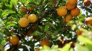 Ripe oranges on tree in the garden