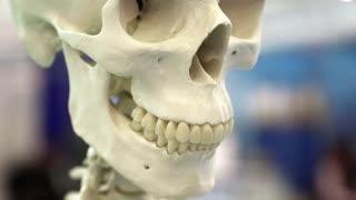 Skull of skeleton