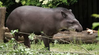 South american tapir (Tapirus Terrestris) eating leafs