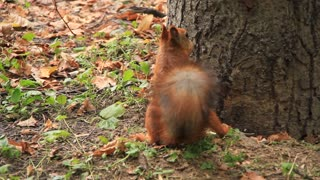 Squirrel with walnut on tree