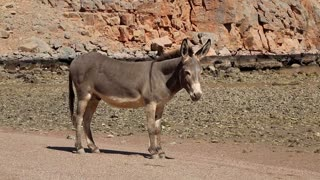 Sultanate of Oman, Musandam, Gulf of Oman, ancient Village of Haffa. Donkey on the beach. Oman - arab country in southeastern coast of the Arabian Peninsula. Musandam - governorate of Oman