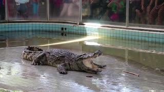 THAILAND, PATTAYA, APRIL 1, 2014: Crocodile show in Pattaya, Thailand