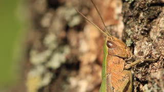 The grasshopper is an insect of the suborder Caelifera in the order Orthoptera. To distinguish it from bush crickets or katydids it is sometimes referred to as the short-horned grasshopper