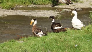 Three gooses by river