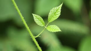 Three small green leaves of blackberry bush