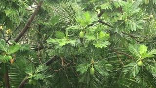 Tropical downpour. Breadfruit tree under pouring rain