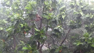 Tropical downpour. Trees and pouring rain