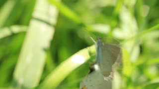 Two beautiful butterfly on green leaf making sex