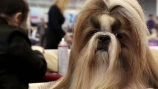 UKRAINE, KIEV, MARCH 20, 2014: Dog show. Woman makes a stylish haircut for Shih Tzu - chinese breed of dog