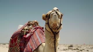 Camel in desert in Qatar, Persian Gulf, Arabian Peninsula, Middle East
