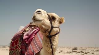 Camel in desert in Qatar, Persian Gulf, Arabian Peninsula