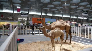 Camels at the Qatar International Agricultural Exhibition 2018 in Doha, Qatar
