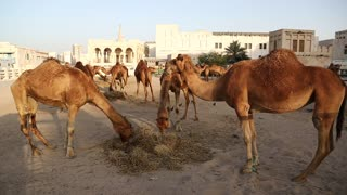 Camels eats hay at Souq Waqif market in Doha - capital and most populous city in Qatar, Persian Gulf, Arabian Peninsula, Middle East