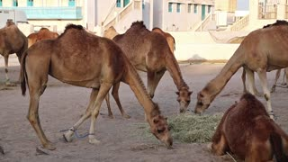 Camels eats hay at Souq Waqif market in Doha, Qatar. Doha - capital and most populous city in Qatar