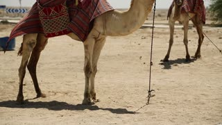 Camels in desert, Qatar