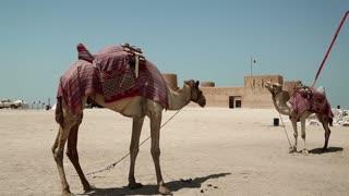 Camels near Al Zubara Fort or Al Zubarah Fort - historic Qatari military fortress built in the time of Sheikh Abdullah bin Jassim Al Thani in 1938, Persian Gulf, Arabian Peninsula