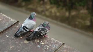 Couple of pigeons sits together on the edge of roof. Two pigeons sits on the roof and look down at people