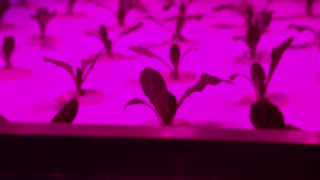 Cultivation of plants under red ultraviolet light. Greenhouse with ultraviolet lamps for plant growth
