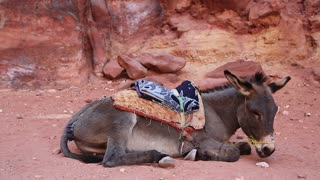 Grey donkey lies on the ground in ancient city of Petra, originally known to Nabataeans as Raqmu - historical and archaeological city in Hashemite Kingdom of Jordan