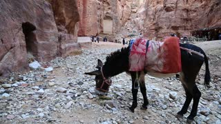 JORDAN, PETRA, DECEMBER 5, 2016: Black donkey in ancient Petra, originally known to Nabataeans as Raqmu - historical and archaeological city in Hashemite Kingdom of Jordan