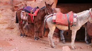 Mule and white donkey in ancient Petra, originally known to Nabataeans as Raqmu - historical and archaeological city in Hashemite Kingdom of Jordan