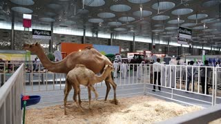 QATAR, DOHA, MARCH 20, 2018: Camels at the exhibition