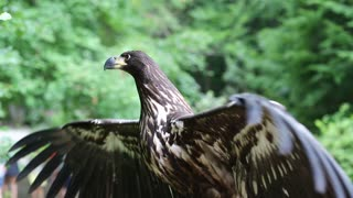 Sea eagle with big wings. Female eagle, bird of prey in the forest