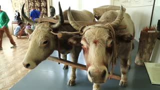 UKRAINE, POLTAVA, JUNE 19, 2017: Bullocks and people inside museum of regional studies or local history museum of Poltava, one of oldest and richest museums in Ukraine