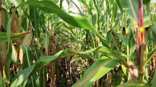 Walking through a cornfield