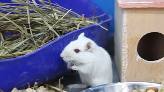 White and grey rats in cage