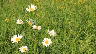 White camomiles and green grass