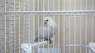 White canary bird in the cage